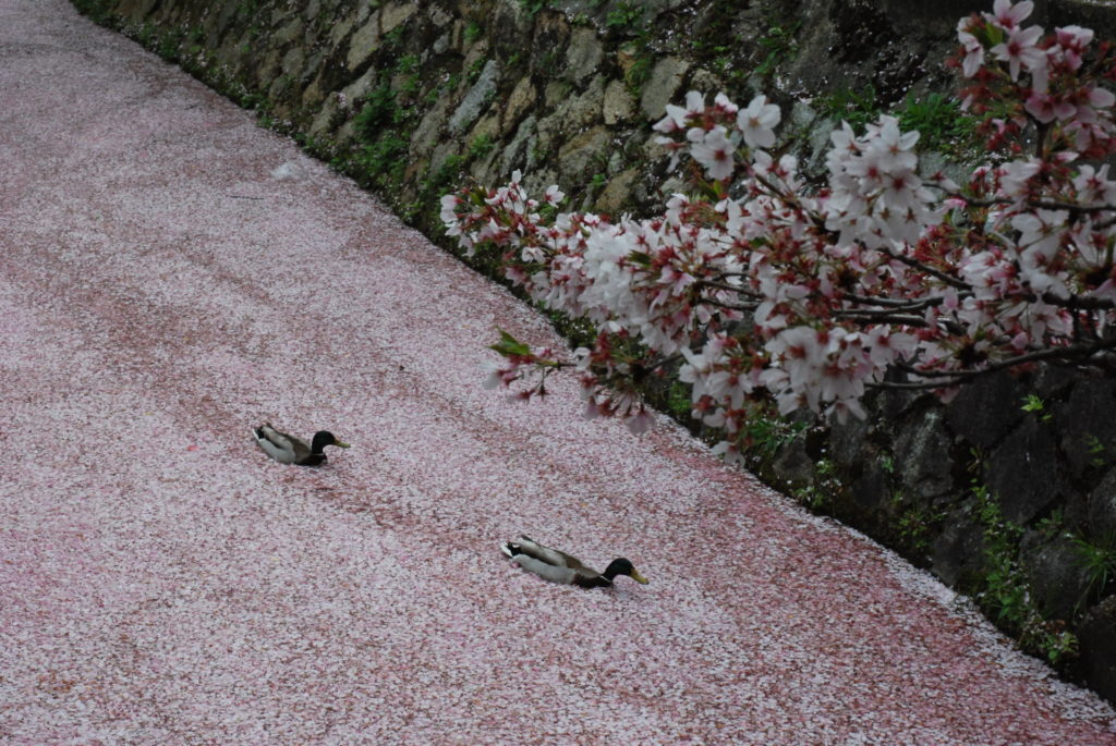 two ducks swimming in a stream covered with cherry blossoms